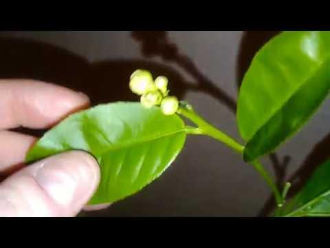 Цветение лимона Павловского