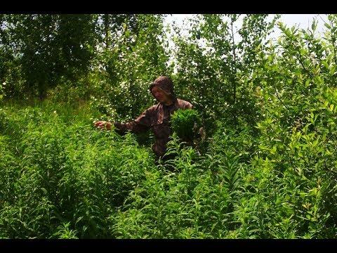 Эффективная посадка иван чая семенами и корнями - Купить