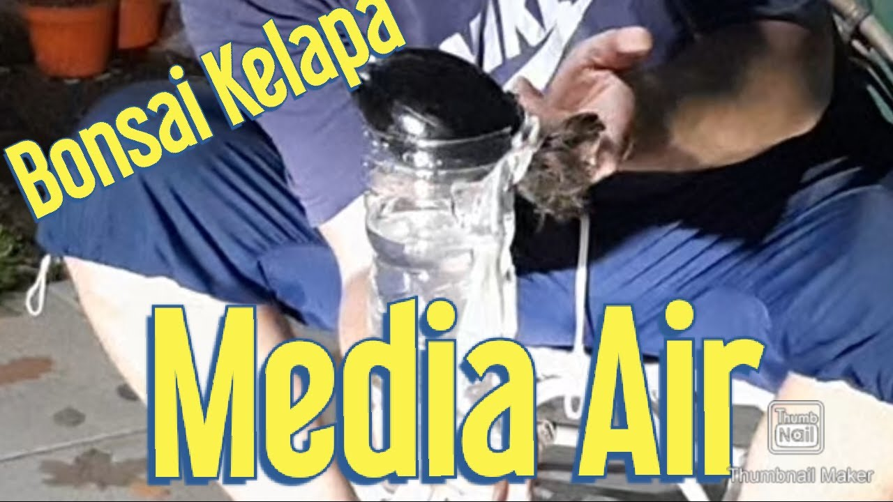 Bibit Kelapa Minion Part 2 Bonsai Kelapa Media Air Youtube