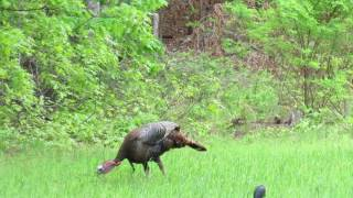 NC Turkey Hunting 2017 - Little Man Strikes Again