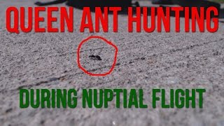 Hunting for Queen Ants In The Summer (Nuptial Flight)