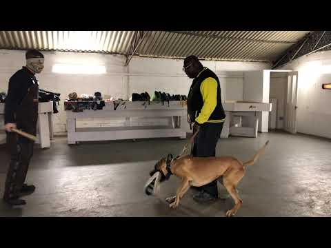 "Great Dane Tiny 15 months old Handler ""Defence"" Training"