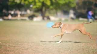 Terrier-lab Mix Plays Frisbee | The Daily Puppy