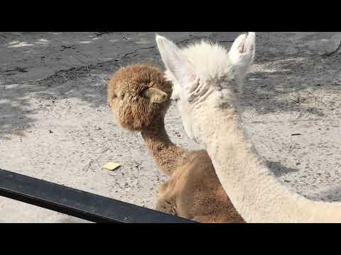 Милые альпаки. Тайган. Lovely alpacas. Taigan. Crimea.