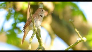 Download Common Nightingale (Luscinia megarhynchos) singing