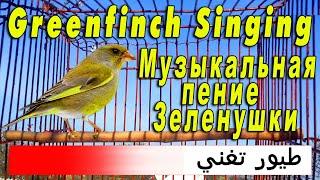 Пение Зеленушки. Таджикистан г Канибадам