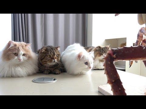고양이들 앞에 거대한 킹크랩이 나타났어요!