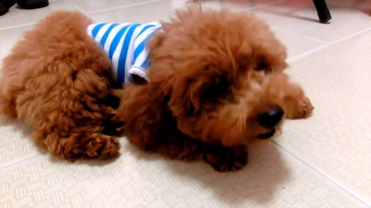Amber Toy Poodle 5 Months Old