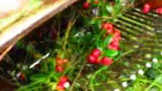 Lingonberry Picking and Jam making