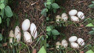 Đi Câu trứng kiểu này thú vị lắm, gặp nhiều ổ như này là tuyệt