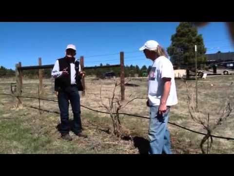 Colorado hybrid grape vineyard II