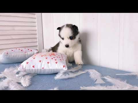 Sweet Mini Husky girl Alice