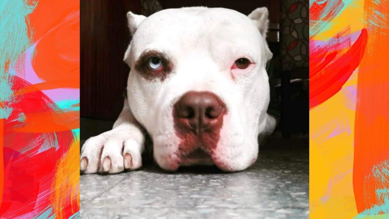 Buenos reflejos - Pitbull Red Nose