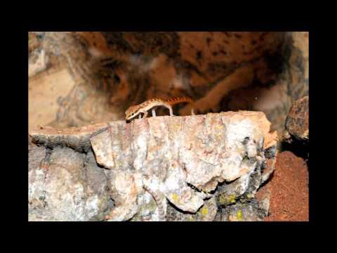 Gecko songs - Tropiocolotes steudneri