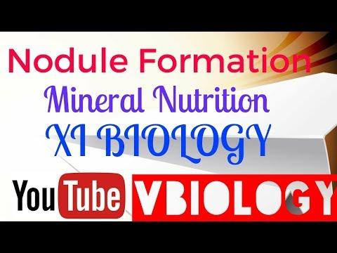 Mineral Nutrition in Plants - Biological Nitrogen Fixation - Nodule Formation || XI BIOLOGY ||
