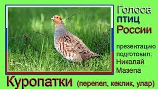 Куропатки. Голоса птиц России