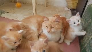 Рыжие, умные, красивые котята