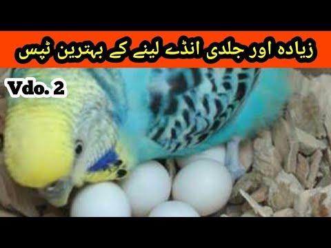 Australian Parrots Breeding Tips: Budgies eggs dyny k Tips in Urdu/Hindi |Arham Naveed|Budgies Vdo.2 thumbnail