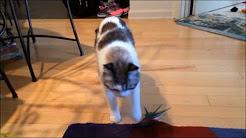 #2 Cat losing balance, falling over, head bobbing (degenerative neurologic disease)