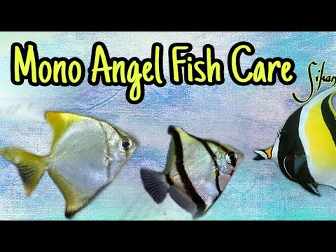 How To Care Mono Angle Fish And How To Make Aquarium Setup Details Tips.