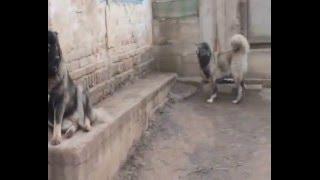 Молодые собаки  питомника ВАРВАРА и ГЛОРИЯ!