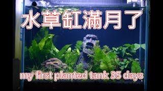 鬥魚缸 草缸滿月了 草長得如何? quick update my first planted tank