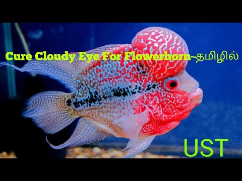 How To Cure Cloudy Eye For Flower Horn In Tamil
