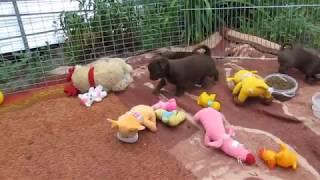 Маленькие собачки чихуахуа