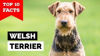 Welsh Terrier  Top 10 Facts