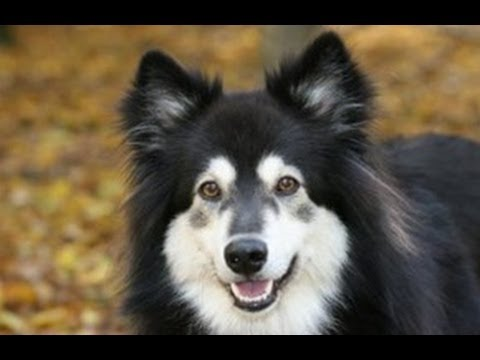 dog tricks while playing ball with Finnish Lapphund