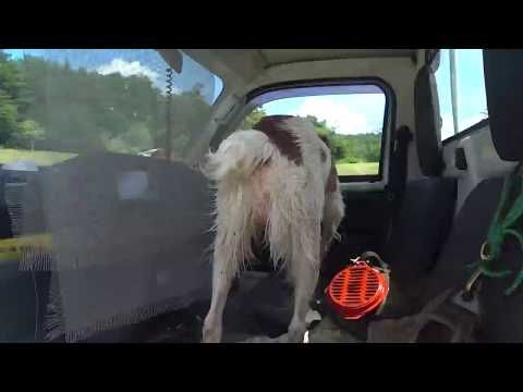 Gundog Training, Brittany Spaniel: quartering and swimming back to truck