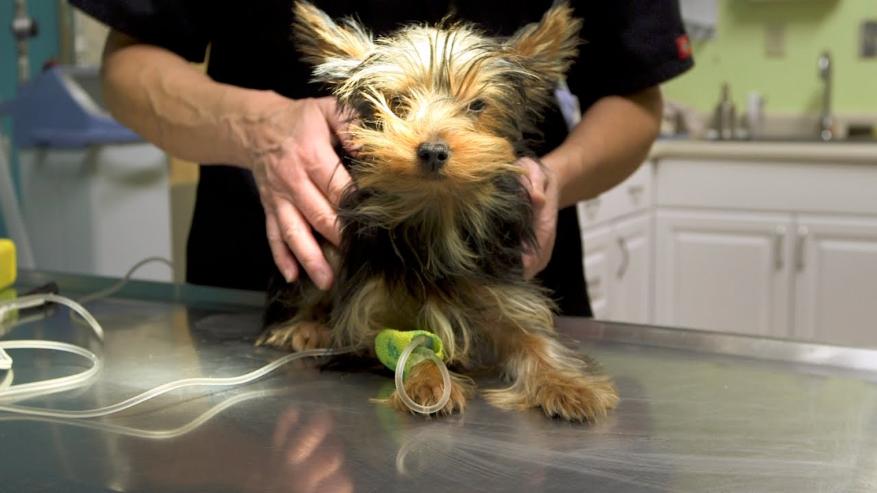 Small Yorkie Vs Big Dog Spells Trouble Youtube