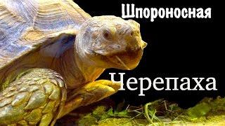 Черепаха. Самые большие черепахи. Шпороносная черепаха.