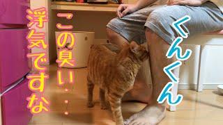茶トラ猫【きんた】オス 元保護猫で猫カフェにいた子猫です。 何度か行...