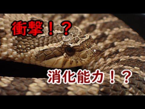 【爬虫類】飼育者必見!衝撃のシシバナヘビの消化能力!?