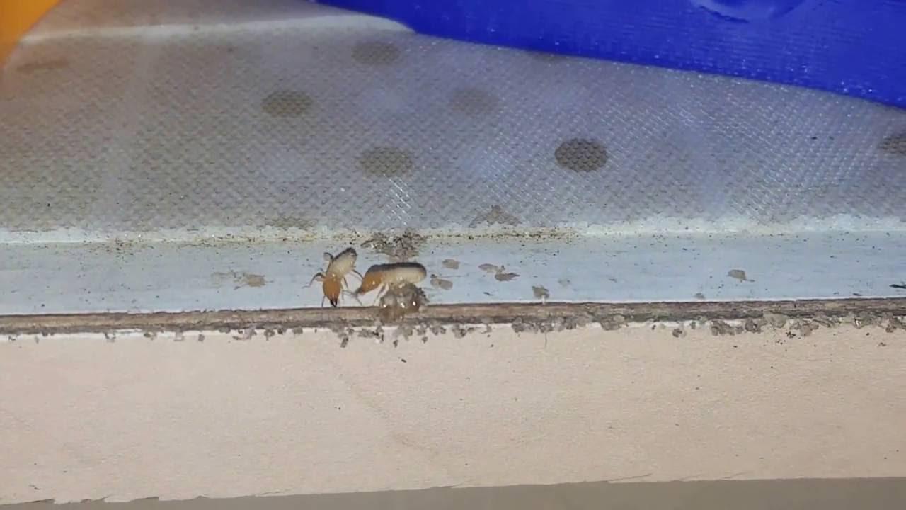 Subterranean Termites In Kitchen Cabinet - Pest Control ...
