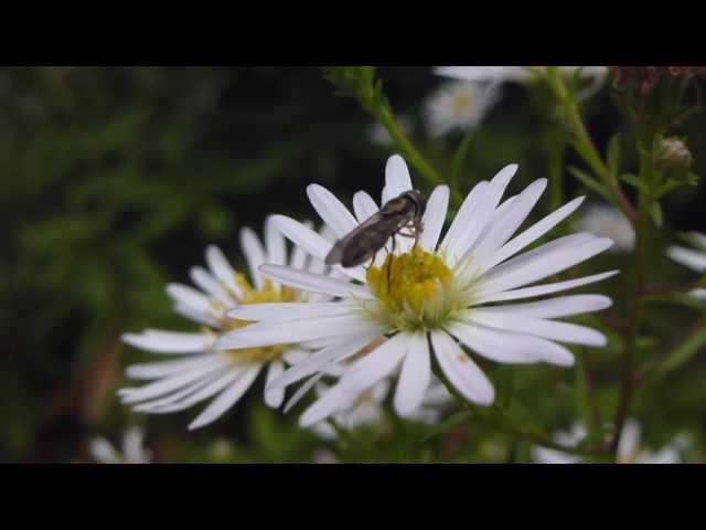 White Aster - Sumaraster - Garðastjarna - Fjallastjarna  -   Sumarblóm