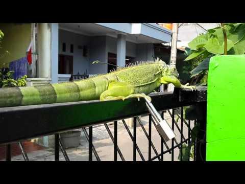 Iguana hijau green iguana bunglon besar hijau