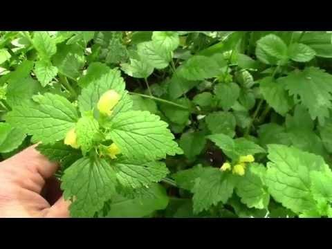 Essbare Wildkräuter, Wildblüten und Blätter Teil 2