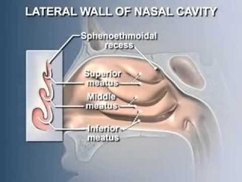 Anatomy Of The Nasal Cavity Youtube
