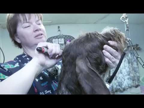 German Wirehair Pointer Hand strip Subscribe & Share  with your groomer friends