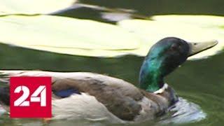 Перепись птиц: в столице обнаружены необычные для города виды - Россия 24