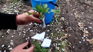 Самый простой способ защиты рассады от медведки. Высадка рассады томатов в открытый грунт