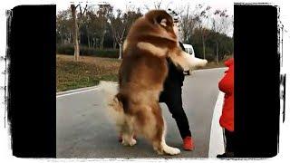 Приколы с Животными ДО СЛЕЗ | Jokes with Animals TO TEARS #617