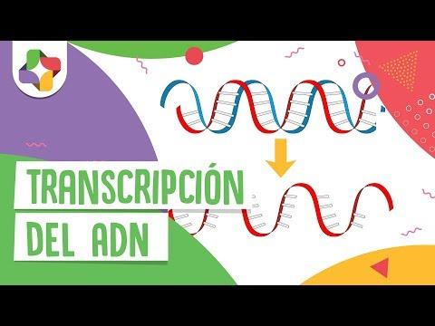 Transcripción del ADN - Educatina