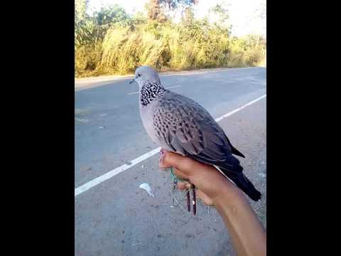 นกต่อนกเขาใหญ่