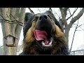 Raw Turkey Mukbang - German Shepherd Lobo