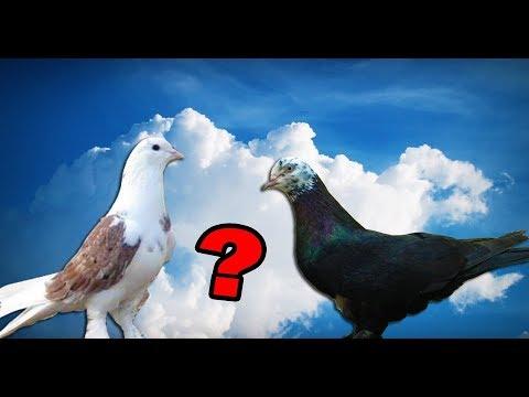 Какой масти настоящий чистокровный Бакинский голубь был изначально?