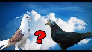 Какой масти настоящий чистокровный Бакинский голубь был изначально