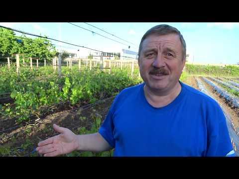 Удаление и прищипывание пасынков на винограднике